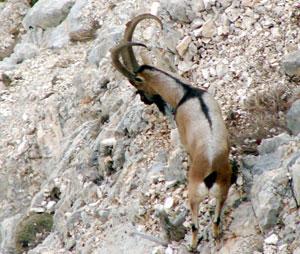 Yaban tekesi, dağ keçisi avları